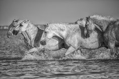 www.pegasebuzz.com | Equestrian photography : Saintes Maries de la Mer, Camargue. Par Marc Lapolla.
