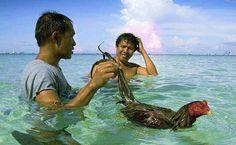 cara melatih ayam bangkok pukul Bird Feathers, Bangkok, Rooster, Animals, Birds, Roosters, Animales, Animaux, Animal