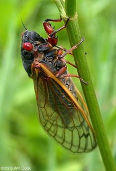 Periodical Cicada (Magicicada spp.) Animals Images, Animals And Pets, Cicada Tattoo, Cool Bugs, Beautiful Bugs, Bugs And Insects, Love Pet, Animal Photography, Insects