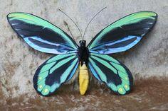 Butterfly Replicas Ltd Queen Alexandra's birdwing Ornithoptera ... Float Like A Butterfly, Largest Butterfly, Purple Butterfly, Butterfly Wings, Types Of Butterflies, Beautiful Butterflies, Beautiful Birds, Butterfly Species, Sting Like A Bee