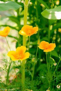 Эшшольция. Калифорнийский мак. Желтые садовые цветы