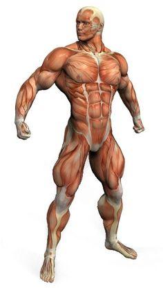 muscle anatomy   front anatomy front leg anatomy rear leg anatomy calf muscle anatomy ...