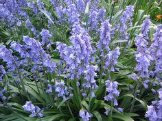 Hyacinthoides hispanica - Google zoeken