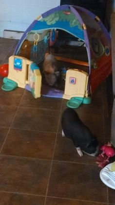 Mini Pig Indoor Play Area