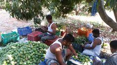 Mango www.farmfirst.in