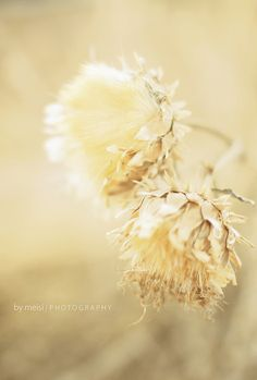 """AUTUMN, WINTER, SPRING AND SUMMER ~ """"The seasons are what a symphony ought to be: four perfect movements in harmony with each other. Pastel Yellow, Mellow Yellow, Pale Pink, Vintage Accessoires, Shades Of Peach, Yellow Shades, Seed Pods, Milk And Honey, Pantone Color"""
