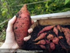 growing sweet potatoes, start slips in February, plant in May