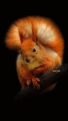 cute red squirrel