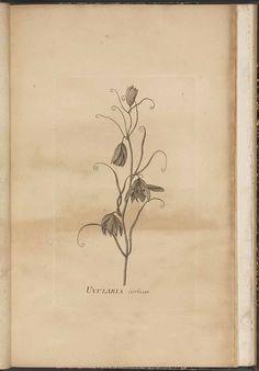 Fritillaria thunbergii Miq. [as Uvularia cirrhosa Thunb.]  / Thunberg, C.P., Icones plantarum japonicarum, t. [11] (1800)