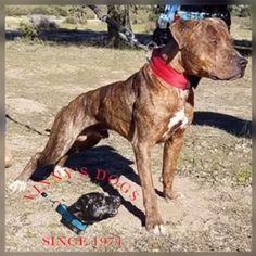 ONLINE PEDIGREES :: [283371] :: VINNY'S DOGS & IRENE'S PEPE EL TORO Pit Dog, Black Pitbull, American Pitbull, Real Dog, Dog Games, Dog Fighting, Paw Prints, Animal Cruelty, Hunting Dogs