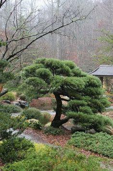 """Juniperus chinensis """"Pfitzeriana""""  #JapaneseGarden"""