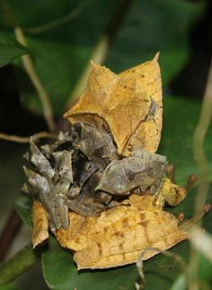 Multiple Mini Frogs! These little guys emerge from a special pouch on their mother's back when they have developed into complete mini frogs just like these!!! Banded horned tree frogs (Hemiphractus fasciatus) Photographer: B. Gratwicke
