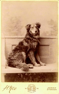 Sheepdog/collie type or mongrel - Vintage Doggy: Cabinet Card Dog Portraits from the Plymouth, Dog Cabinet, Dog Nose, Collie Dog, Puppy Mills, Old Dogs, Dog Portraits, Dog Photos, Victorian