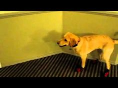 Dog With New Snow Boots - Hilarious! : Video Clips From The Coolest One Zoo Animals, Funny Animals, Cute Animals, Funny Animal Videos, Videos Funny, Cute Puppies, Cute Dogs, Dog Boots, Poor Dog