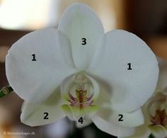 Tutorial: How to make an orchid from fondant or gym paste / flower paste. You can use this Moth orchid on wedding cakes, party cakes, birthday cakes etc.