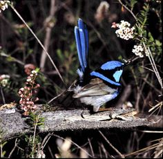 The social lives of Blue Wrens The Brambles, Wire Jewelry Designs, Bird Paintings, Australian Birds, Chickadees, Vertebrates, Watercolor Artwork, Bird Species, Wren