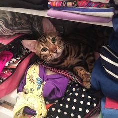 #winterthecat #bengal wants to come to the Hamptons?