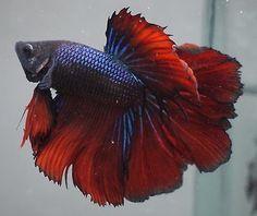 blue-red-black-rosetail-halfmoon-betta-B27