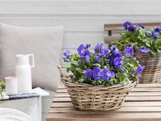 Start våren med viola cornuta