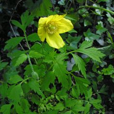 Meconopsis cambrica Welsh Poppy