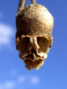 The Antirrhinum¸ Dragon's Skull ─ The Repulsive Complexion of Snapdragon Seed Pods Strange Flowers, Unusual Flowers, Rare Flowers, Amazing Flowers, Beautiful Flowers, Nice Flower, Weird Plants, Unusual Plants, Cool Plants