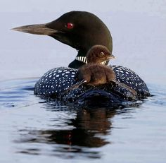 The loon call that actually sounds like boo-hoo. So haunting. First heard it up north in Korinek cabin.