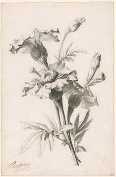 Of a flower the morgan library & museum flower sketches, flower sketch pencil Flower Sketch Pencil, Pencil Drawings Of Flowers, Pencil Sketch Drawing, Flower Sketches, Floral Drawing, Art Sketches, Art Drawings, Flower Art Drawing, Draw Flowers