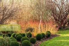 Cornus sanguinea 'Midwinter Fire' with box balls, Buxus sempervirens, and a white