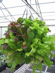 Hanging lettuce and moss basket--would love to try this and hang it in the shade in the hot summer....