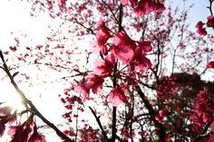 2013.02.03 -Sakura Tucheng City 土城