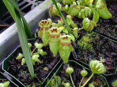 Al's Orchid Greenhouse - carnivorous plants