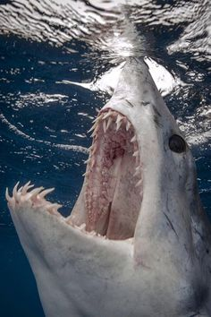 Venez plonger en cage pour admirer le grand requin blanc - come shark cage diving to admire the great white shark - Underwater Creatures, Ocean Creatures, Underwater World, Types Of Sharks, Species Of Sharks, Orcas, Save The Sharks, Small Shark, Fauna Marina