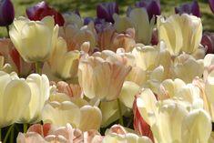 Så lyckas du med jättevallmo   Rabarber Dream About Me, Bokashi, Verbena, Dream Garden, Dahlia, Oas, Flowers, Plants, Gardening