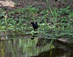 South Africa - Animals (467) Black Crake