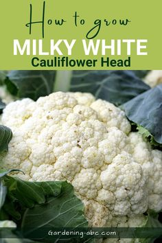 This will make your cauliflower milky white in appearance. Missing this step can cause brown or yellow head. Healthy Pizza Recipes, Healthy Recipes On A Budget, Healthy Recipes For Weight Loss, Low Carb Recipes, Growing Cauliflower, Cauliflower Plant, Cauliflower Crust Pizza, Easy Vegetables To Grow, Growing Veggies