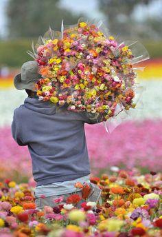 Bouquet de renoncules provenant des champs de fleurs. / / Ranunculus flowers picked at the Flower Fields. / Carlsbad, Californie, USA.