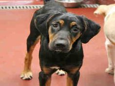 #GEORGIA #URGENT ~ MILES ID A453822 is a Black & Tan Coonhound mix dog in need of a loving #adopter or #rescue at FULTON COUNTY ANIMAL CONTROL   860 Marietta Blvd NW   #Atlanta Georgia 30318    ac.info@fultoncountyga.gov   adoptions@fultoncountyga.gov Ph 404-613-0357