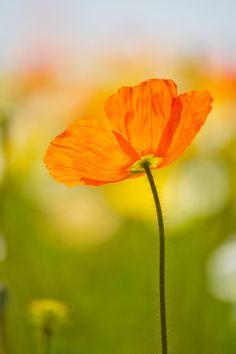 """500px / Photo """"Poppy"""" by Yos Kawawaki"""