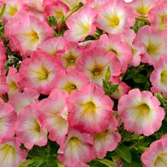Petunia Ray Halo Pink - Rooted Cutting Liner