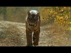 About one of World's most endangered animals, the tiger.