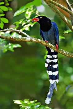 The Taiwan Blue Magpie, Urocissa Caerulea, also called the Taiwan Magpie or Formosan Blue Magpie