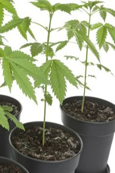 Container growing marijuana