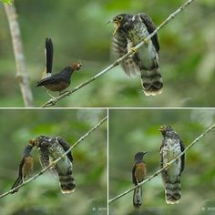 This young Malaysian Hawk-Cuckoo (Cuculus fugax) is raised and fed by his foster parent a White-rumped Shama (Copsychus malabaricus)