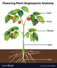 Illustration about Illustration showing the parts of a tomato plant. Illustration of parts, life, botany - 34313421 Tomato Tree, Tomato Plants, Plant Lessons, Planting Sunflowers, Fruit Icons, Corn Plant, Plant Vector, Plant Science, Plant Images