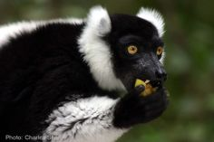Black-and-white ruffed lemur (Varecia variegata) The black-and-white ruffed lemur is the more endangered of the two species of ruffed lemurs, both of which are endemic to the island of Madagascar. Primates, Mammals, Spatial Memory, Chihuahua Names, Elephant Sanctuary, Feel Good Stories, Stop Animal Cruelty, Animals Of The World, Exotic Pets