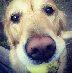 Zoey, a golden retriever from Charleston, South Carolina