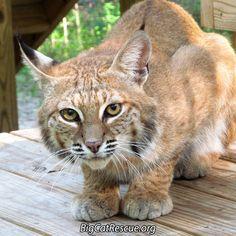 Dryden Bobcat Announ