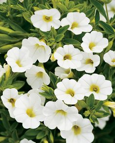 Affix a distinct engrossing appearance to your garden by choosing this Proven Winners Grande White Flowers Superbells White Calibrachoa Live Plants. Large Flower Pots, Small White Flowers, Million Bells, White Plants, Moon Garden, Dream Garden, Proven Winners, How To Attract Hummingbirds, White Gardens