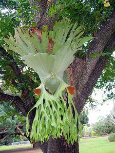 Staghorn fern ...wow