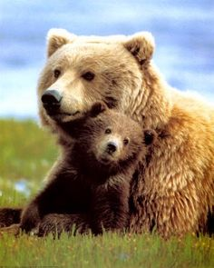 Grizzly or Brown Bear? - its a conundrum. Generally speaking, if you get to within 100 miles of the coast, its called a brown bear Animals And Pets, Baby Animals, Cute Animals, Wild Animals, Beautiful Creatures, Animals Beautiful, Mother Bears, Bear Cubs, Baby Bears